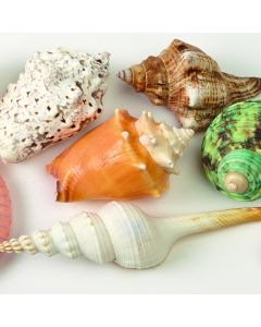 Decorative Shells Pack